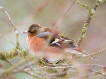 Общая птица зяблика сидя на дереве Стоковые Фотографии RF