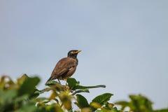Общая птица Myna садясь на насест на дереве Стоковые Фото