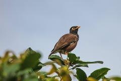 Общая птица Myna садясь на насест на дереве Стоковые Изображения RF