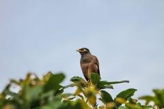 Общая птица Myna садясь на насест на дереве Стоковое Фото