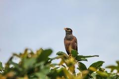 Общая птица Myna садясь на насест на дереве Стоковое Изображение