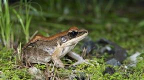 Общая древесная лягушка, золотая древесная лягушка, красивая лягушка, лягушка на траве Стоковая Фотография RF