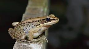 Общая древесная лягушка, золотое leucomystax Polypedates древесной лягушки, красивая лягушка, лягушка на утесах Стоковое Изображение RF