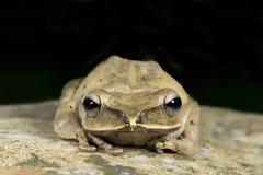 Общая древесная лягушка, золотое leucomystax Polypedates древесной лягушки, красивая лягушка, лягушка на утесах Стоковое Фото