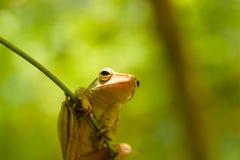 Общая древесная лягушка или золотые древесная лягушка и предпосылка природы конец вверх Стоковые Фото