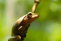 Общая древесная лягушка или золотые древесная лягушка и предпосылка природы конец вверх Стоковая Фотография RF