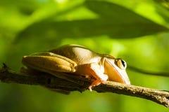 Общая древесная лягушка или золотые древесная лягушка и предпосылка природы Стоковые Фото