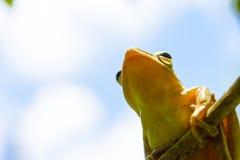 Общая древесная лягушка или золотые древесная лягушка и предпосылка облака Стоковое Фото