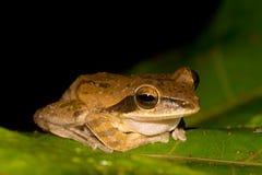 Общая древесная лягушка & x28; Leucomystax& x29 Polypedates; Стоковые Фотографии RF