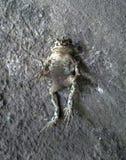 Общая серая жаба Стоковые Изображения RF