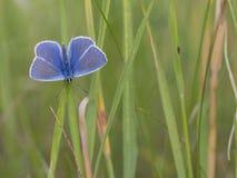 Общая синь, Polyommatus Икар Стоковое фото RF