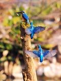 Общая траектория полета фуражировать Kingfisher Стоковые Фотографии RF