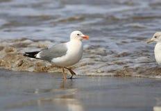 Общая чайка или мяукает чайка Стоковое Фото