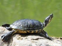Общая черепаха cooter грея на солнце на речном береге Стоковые Фото
