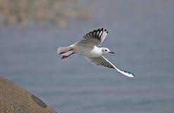 Общая Черно-головая чайка Стоковые Фотографии RF