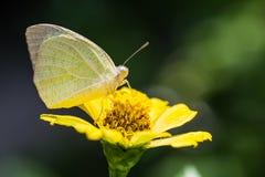 Общая эмигрантская бабочка Стоковые Изображения