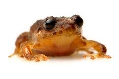 Общая лягушка изолированная на белой съемке студии Стоковые Изображения RF