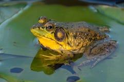 Общая лягушка на лист лилии воды Стоковые Изображения