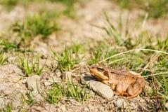Общая лягушка Стоковое Изображение RF