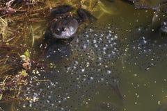 Общая лягушка Стоковое фото RF