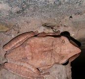 Общая лягушка Rhocoprus Leuconysax Буша стоковая фотография rf