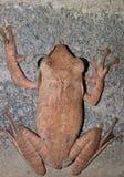 Общая лягушка Rhocoprus Leuconysax Буша стоковые изображения rf