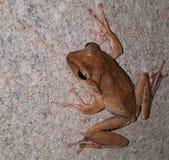 Общая лягушка Rhocoprus Leuconysax Буша стоковая фотография