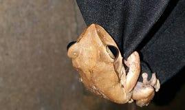 Общая лягушка Rhocoprus Leuconysax Буша стоковое изображение