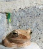 Общая лягушка Rhocoprus RANADAE Буша Стоковые Фотографии RF