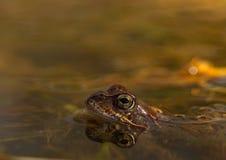 Общая лягушка, temporaria Раны, в пруде сада в Норвегии Взгляд от стороны, отражение лягушки в воде Весна -го апрель, Стоковые Фотографии RF