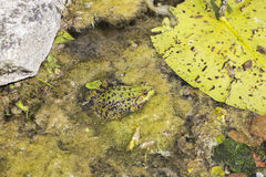 Общая лягушка, temporaria Раны, в пруде Стоковые Изображения RF