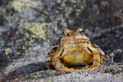 Общая лягушка (temporaria Раны) сидя на камне Стоковые Фотографии RF