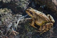 Общая лягушка (temporaria Раны) сидя на камне Стоковое Изображение RF