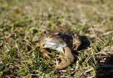 Общая лягушка (temporaria Раны) Стоковое Изображение