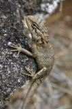 Общая ящерица 2 сада Стоковые Фото