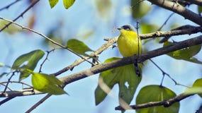 Общая tody-мухоловка садить на насест на ветви дерева Стоковые Фото