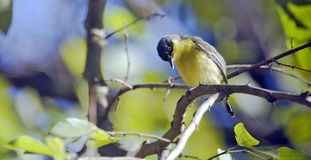 Общая tody-мухоловка садить на насест на ветви дерева Стоковые Изображения