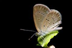 общее бабочки конского каштана Стоковое Изображение