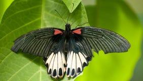 общее бабочки подняло Стоковая Фотография RF