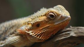 Общее бородатое barbata Pogona дракона на древесине видеоматериал