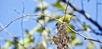 Общее гнездо здания tody-мухоловки Стоковая Фотография RF