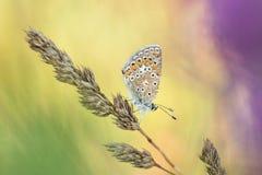 Общее голубое Polyommatus Икар Стоковые Фотографии RF