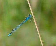 Общее голубое Damselfy Стоковое фото RF
