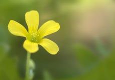 Общее желтое stricta Oxalis Древесин-щавеля стоковое фото rf