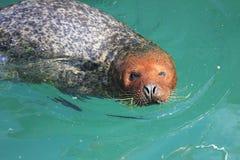 Общее заплывание уплотнения гавани в vitulina настоящего тюленя воды Стоковое фото RF
