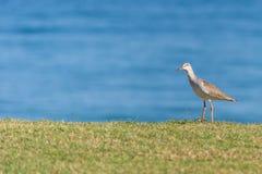 Общее положение Redshank на траве с океаном на заднем плане на солнечный день стоковые изображения rf