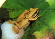 общее размножение лягушки Стоковое Изображение