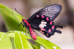 Общее розовое & x28; Goniopeltis& x29 aristolochiae Pachliopta; бабочка стоковая фотография rf