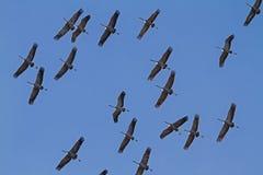 Общее стадо крана на миграции Стоковое Фото