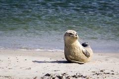 Общее уплотнение на пляже - vitulina настоящего тюленя Стоковое Изображение RF